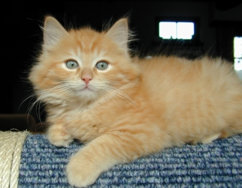 Red Point Ragdoll Red Non Point