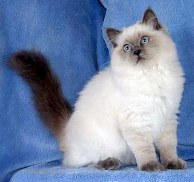 luther vandross: Ragdoll Cats Blue Point